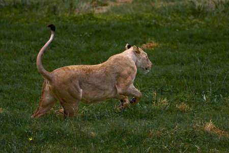gauteng: African Lioness running through green grass