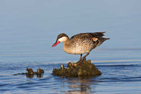 gauteng: Red-billed Teal in shallow water Stock Photo