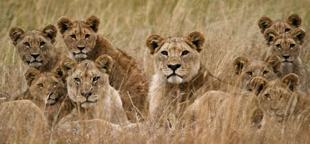 Familie der afrikanischen Löwen suchen sehr wachsam Standard-Bild - 3793155