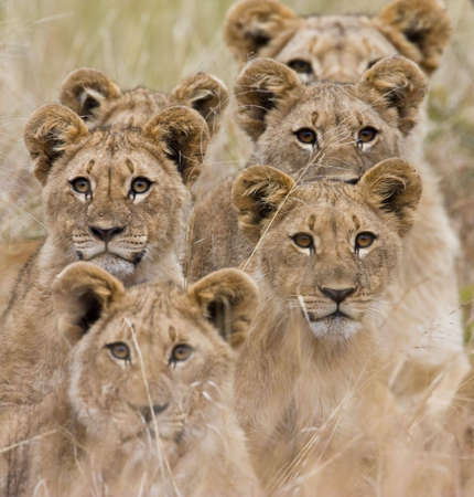 Der afrikanischen Löwen suchen sehr wachsam Standard-Bild - 3807637