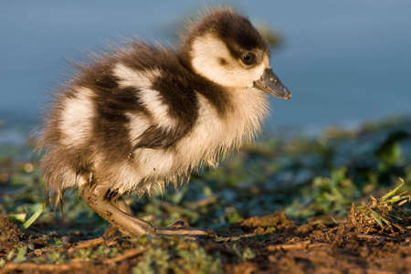 Fluffy looking Egyptian goose chick on the waters edge photo