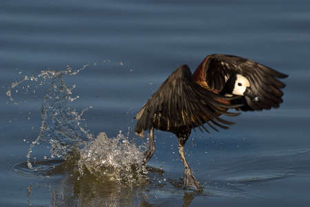 gauteng: White faced Duck flying over water Stock Photo
