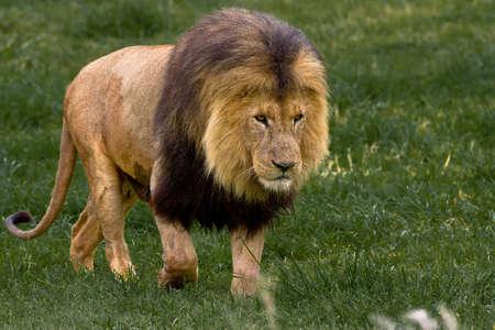 gauteng: African Lion walking through the green grass