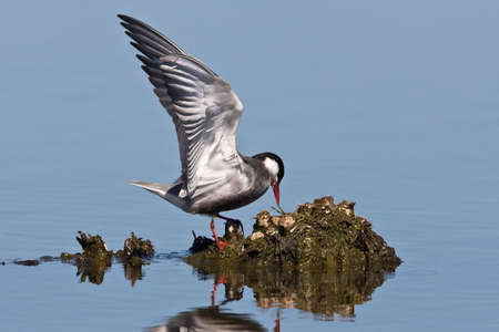 Whiskered Tern in shallow water with wings up Stock Photo - 4799786
