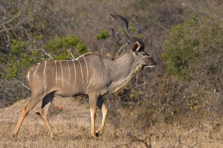Male greater kudu in Kruger National Park, South Africa photo