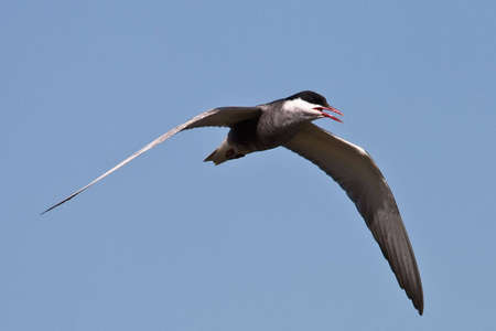 Whiskered Tern in flight Stock Photo - 5344171