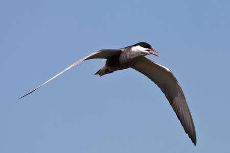 gauteng: Whiskered Tern in flight