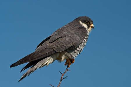 Amur Falcon auf Niederlassung Standard-Bild - 5344246