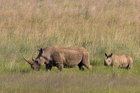 African White Rhino and calf walking through the grass  in Pilanesberg nature reserve photo