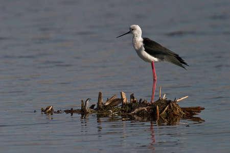gauteng: Black-winged Stilt in shallow water standing on small island