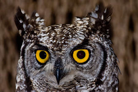 yellow eyes: African Spotted Eagle Owl with large piercing yellow eyes in macro portrait