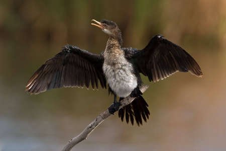 gauteng: Reed Cormorant on twig with open wings