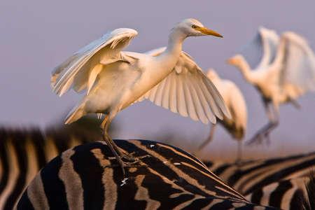 Cattle Egret auf der Rückseite eines Zebras mit geöffneten Flügeln Standard-Bild - 5528069