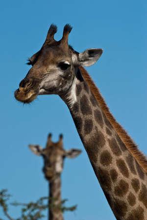Giraffe Porträt Nahaufnahme Standard-Bild - 5661584