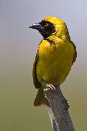 Southern Masked Weaver-Männchen auf Pertch über grün hintergrund  Standard-Bild - 5661582
