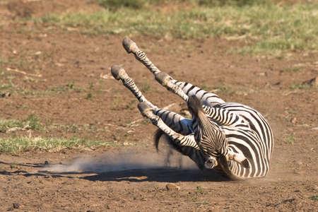 Burchells Zebra Rollen in der staubigen Sand des Pilanesberg Standard-Bild - 5661585