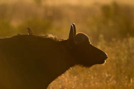 Dusty Afrikanischer Büffel mit Oxpeckers, die in greater Kruger park Standard-Bild - 5681126