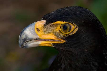 Makro close up of ein Breitschopf-eagle Standard-Bild - 5681132