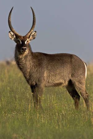 Wasserbock Bull stehen kurz Savanne Gras Rietvlei Naturschutzgebiet Standard-Bild - 5681178