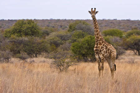 savana: Giraffe standing in short savana grass in Dube nature reserve Stock Photo