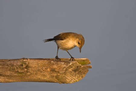 bird sanctuary: African Reed-Warbler on perch at Marievale bird sanctuary