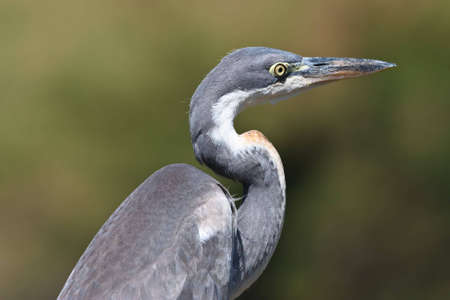 Black-headed Heron Portrait, die auf Crockworld-Kwazulu-Natal Standard-Bild - 5681146