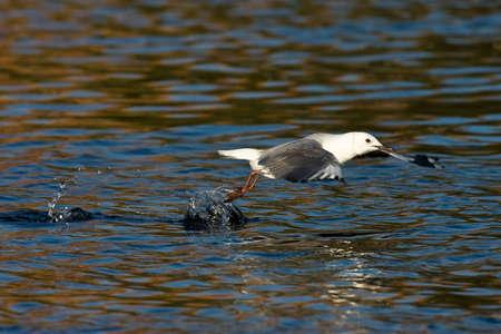 Hartlaubs Gull während des Starts in Intaka-Insel Cape Town Standard-Bild - 5681145