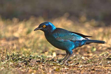 Cape Glossy Starling auf Grund von Dube private game reserve Standard-Bild - 5681157