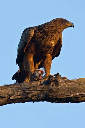Tawny Eagle mit Fänge im Baum in Greater Kruger Park Standard-Bild - 5681169