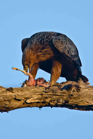 tawny: Tawny Eagle with catch in tree in greater kruger park