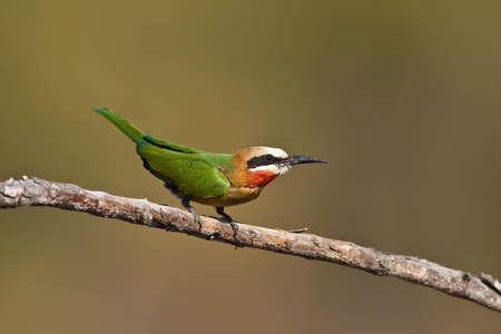 Tagula-Bienenfresser thront in greater Kruger park Standard-Bild - 5681143