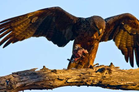 Tawny Eagle mit Fänge im Baum in Greater Kruger Park Standard-Bild - 5681155