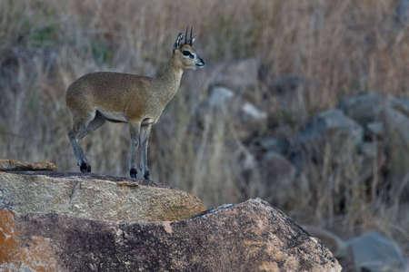 Klippspringer Ram auf Felsen in greater Kruger park Standard-Bild - 5849624
