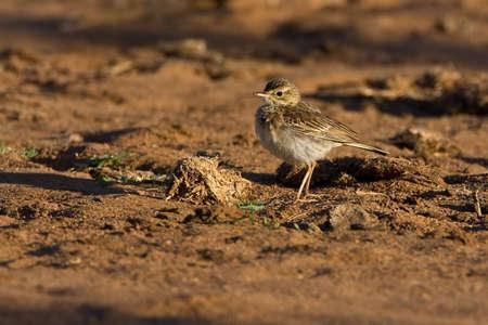 Sabota Lark auf Boden in größeren Kruger park  Standard-Bild - 5849625