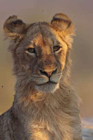 Junger Löwe Blick auf Beute in greater Kruger park Standard-Bild - 5849644
