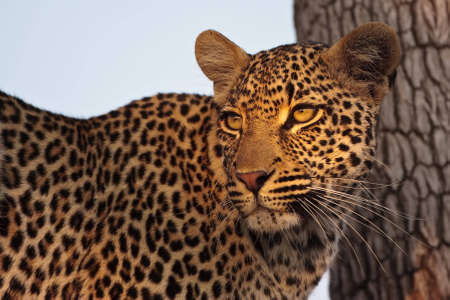big five: Beautifull leppard in tree looking at prey in greater kruger park Stock Photo