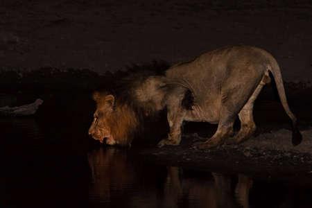 Männlich Lion-Trinkwasser bei Sonnenuntergang im größeren Kruger park  Standard-Bild - 5849639