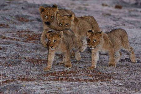 Lion cubs playing in greater kruger park photo