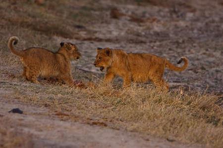 Lion Cubs spielen in größeren Kruger park  Standard-Bild - 5849629