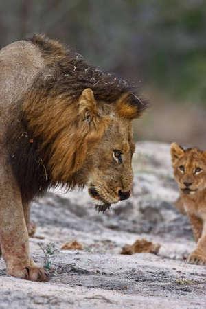 Kleine Löwenjunges betrachten Vati in greater Kruger park Standard-Bild - 5849643