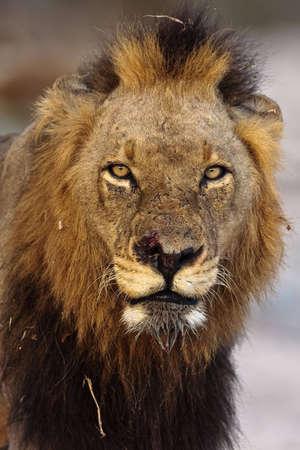 Männlichen Löwen-Porträt in greater Kruger Park genommen Standard-Bild - 5849633