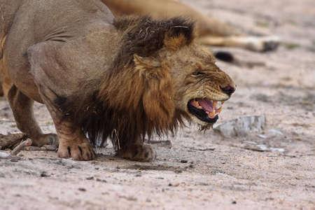 Wütend männlichen Löwen, die in greater Kruger park Standard-Bild - 5849634
