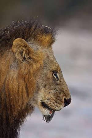 Männliche Löwe Seite Porträt in greater Kruger Park genommen Standard-Bild - 5849640
