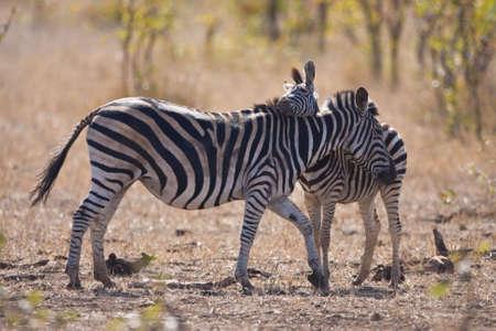 Zebra und Foulspiel Anzeigen von Liebe und Zuneigung in der afrikanischen Savanne Standard-Bild - 6392400