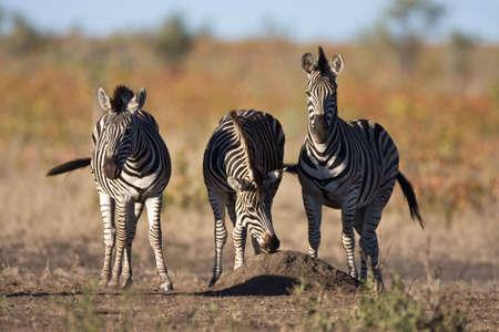 Trio Zebras stehen nebeneinander in der greater Kruger park Standard-Bild - 6392398