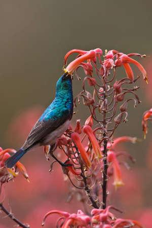 Weißbauch-Sunbird auf Zweig in der greater Kruger park Standard-Bild - 6392402