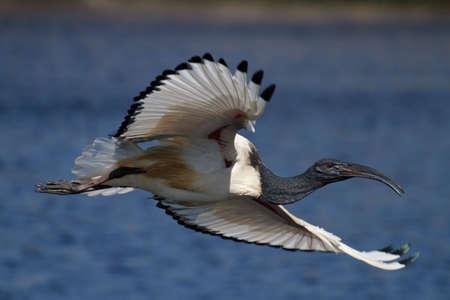Afrikanische Heiligen Ibis im Flug über Wasser Standard-Bild - 6448518