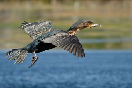 White-breasted Cormorant in flight over water photo