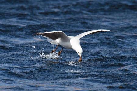 Möwe im Flug über Wasser abfangen ein kleiner Fisch Standard-Bild - 6448515