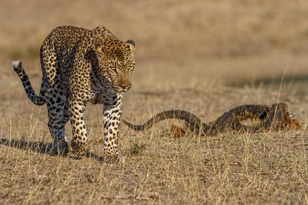 Große männlich afrikanischen leppard alking durch kurze Gras mit Kudu Horn auf Boden Standard-Bild - 23175321